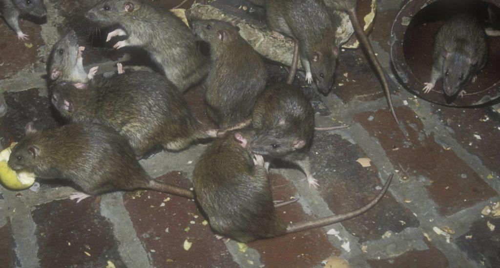 уничтожение крыс в Нальчике